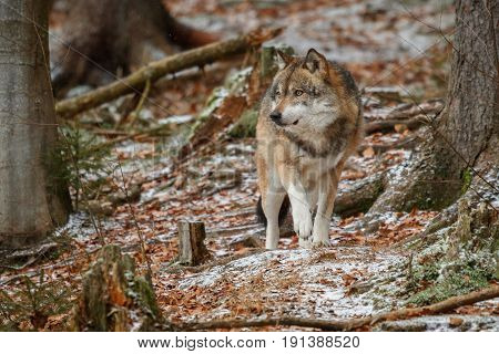 Eurasian wolf is standing in nature habitat in bavarian forest, national park in eastern germany, european forest animals, canis lupus