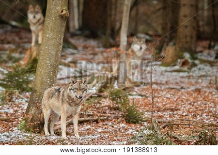 Eurasian wolf is standing in nature habitat in bavarian forest, national park in eastern germany, european forest animals, canis lupus lupus
