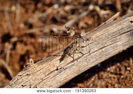 Courtship ritual of robber flies, in flight
