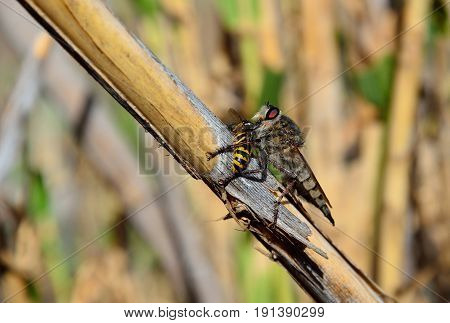 Robber fly on cane stalk with a small wasp under its stinger