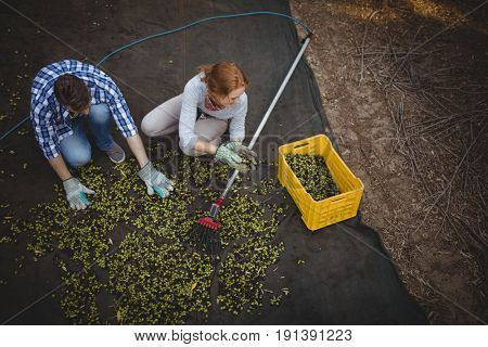 High angle view of young couple working at olive farm