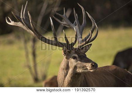 Big and beautiful red deer during the deer rut in the nature habitat in Czech Republic, european wildlife, wild europa, deer rut.