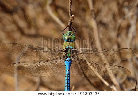 Great blue dragonfly in foreground, anax imperator