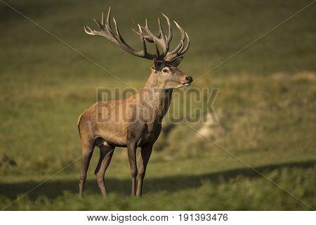 Big and beautiful red deer during the deer rut in the nature habitat in Czech Republic, european wildlife, wild europa, deer rut.