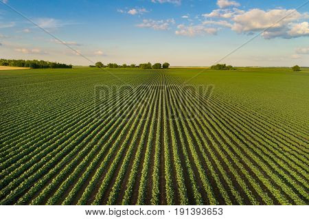 Landscape Of Soybean Field In Plains