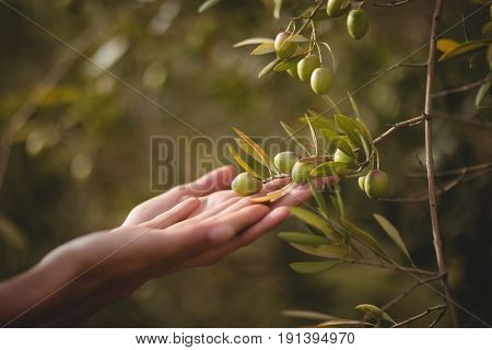 Cropped hands of woman touching olive tree at farm