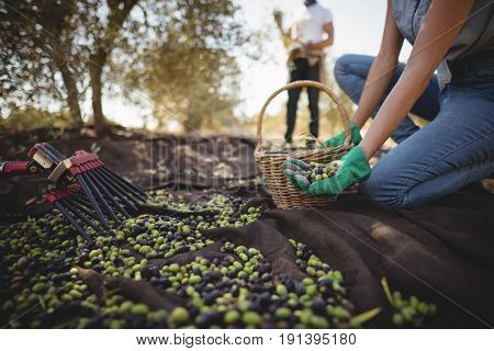 Mid section of woman collecting olives with man in background at farm