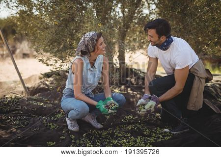 Smiling young couple collecting olives at farm