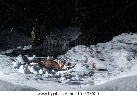 Marten in the nice nature habitat from camera trap, nocturnal animals, european wildlife, nature and wilderness, camera trapping in europe