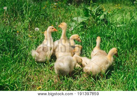 Yellow Chicks Grazing In A Meadow