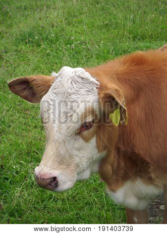 White and light brown calf with a yellow ear tag stood in a grass field.