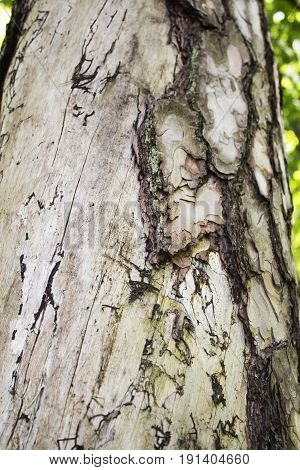 Highly detailed tree bark texture. The trunk of the spruce bark beetle