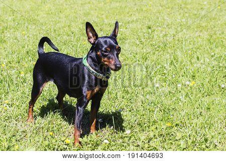 Portrait of a doberman pinscher puppy. On green grass in Sunny day