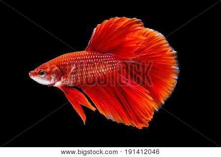 Siamese Fighting Fish Or Betta Fish Isolated On Black Background With Clipping Path