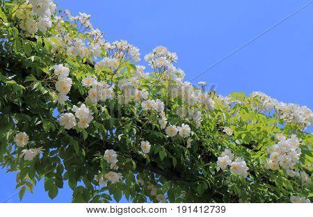 White flower arch arrangement garden arcade in blue sky