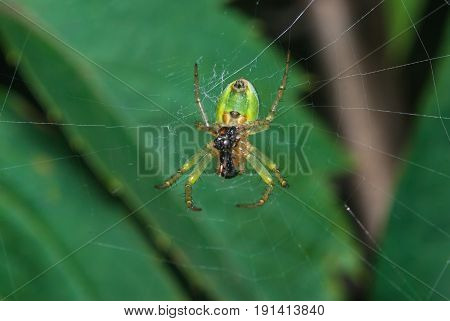 Green spider sitting on the web on the background leaves