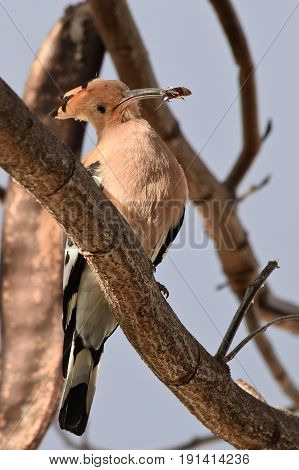 Hoopoe Bird with Insect Siting on the Branch