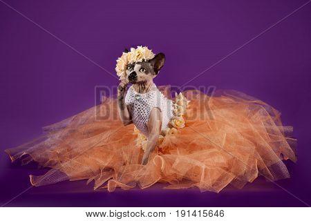 Sphynx cat dressed in orange dress on a purple background