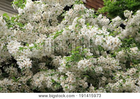 Blooming branch of apple tree with many white  flowers