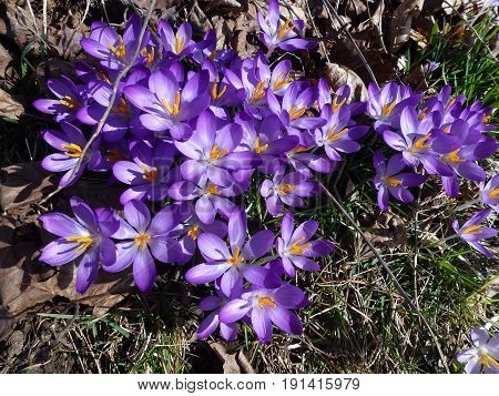 Many blue crocuses as a floral background