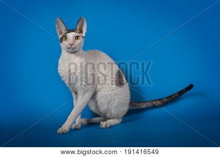 Cornish Rex cat posing on a blue Studio background