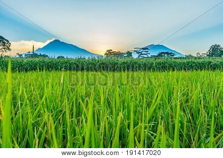 Rice field with twin peaks and beam of light in late afternoon. This is Mt Merapi and Mt Merbabu in cnetral Java Indonesia.