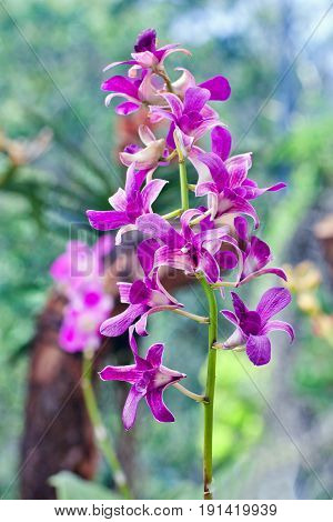 Dendrobium Orchid On Blurred Background