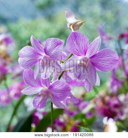 Beautiful Hybrid Dendrobium Orchid Flower Branch