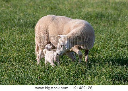 Ewe nursing her lamb in a grassy field.