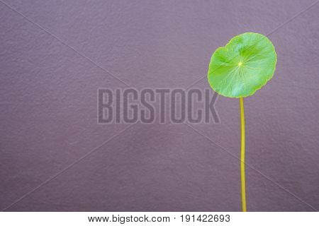 One Fresh Leaf Of Centella Asiatica Plant On Grey Wall Background. Composition With Empty Space For