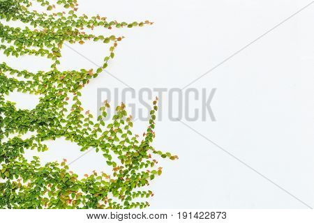 Green Ivy Plant On White Cement Wall. Outdoor Garden Decoration