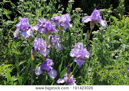 Many blue irises on the flower bed