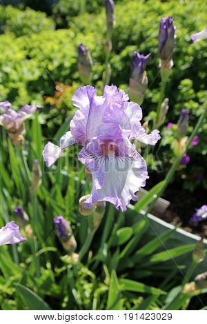 Single blue iris on the flower bed