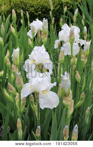 Many white irises on the flower bed