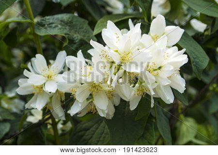 Jasmine flowers.  jasmine spring flowers .  Jasmine