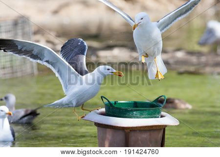 Seagulls feeding at conservation centre. Sea birds hovering around a wild bird food bucket. Gulls competing for food.