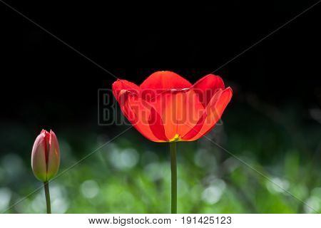 Beautiful red garden flower. Spring blooming tulip. Springtime garden flower in bloom.