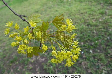 Close Up Of Flowers Of Acer Platanoides