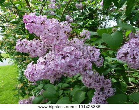 Bunches of light purple lilac on the bush