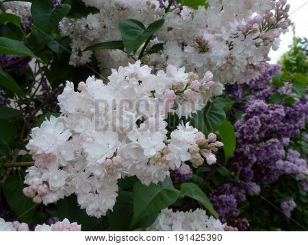 The white bunch of blooming lilac bush