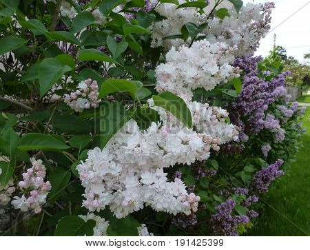 The  bunches of blooming white lilac bush