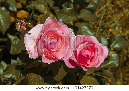 Roses, red roses for new designs, pink roses, white roses, yellow roses pictures