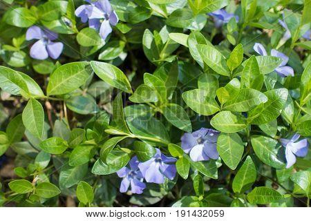 Pale Violet Flowers Of Vinca Minor In Spring