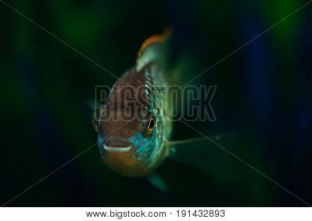 Nannacara. Blue aquarium fish on a background of algae. Cichlids.