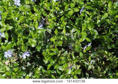 Trailing Viny Subshrub Of Vinca Minor Spreading Along The Ground