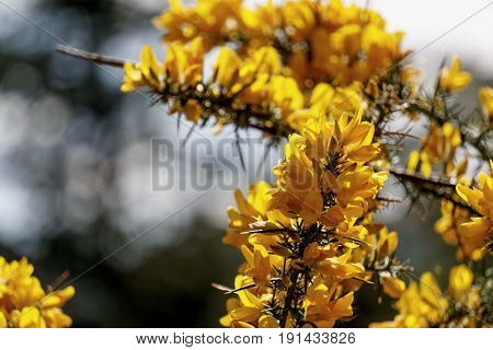 Yellow gorse with sharp spines in scotland