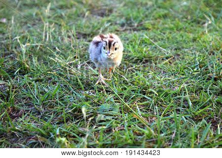 pheasant chick in green garden, sunny day