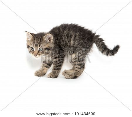 Cute Tabby Kitten Stalking On White