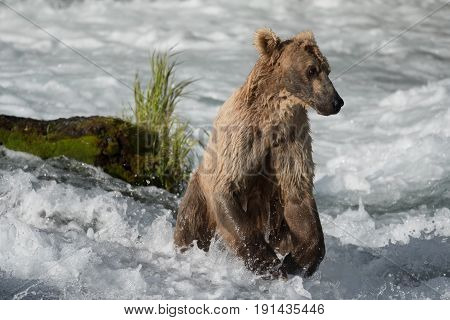 Alaskan Brown Bear Fishing For Salmon