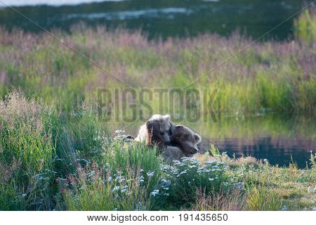 Brown Bear Sow And Cub